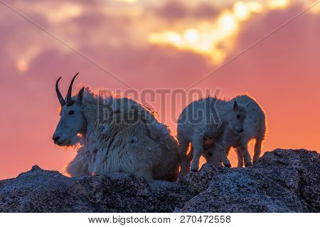 A Mountain Goat Nanny And Her Kids Silhouetted At Sunset