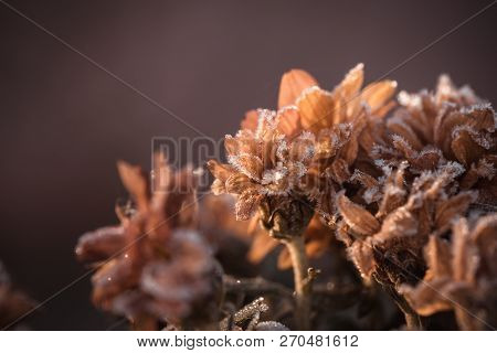 Dry Chrysanthemum Blooms Covered By The Frost