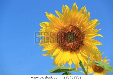 Vibrant Yellow Sunflower Against Vivid Blue Sky With Free Space For Text Or Design