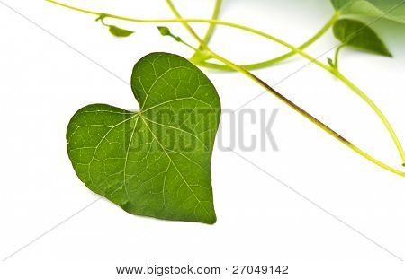 Green Heart Leaf isolated on white background.