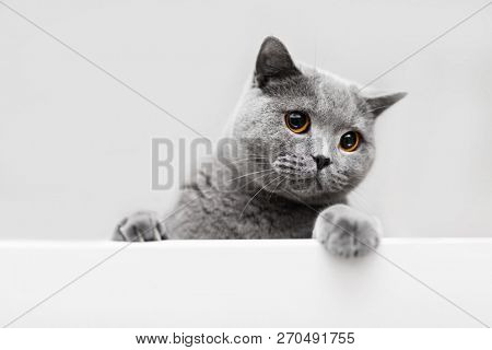 Playful grey cat leaning out. British shorthair cat. Purebred domestic animal.