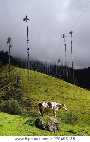 Cows on Cocora valley in Cordiliera Central, Salento, Colombia, South America