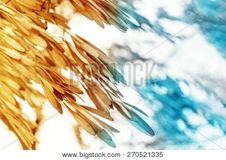 Abstract Background Of Dry Seeds Of Ash Tree, Toned Yellow And Blue With Copy Space.