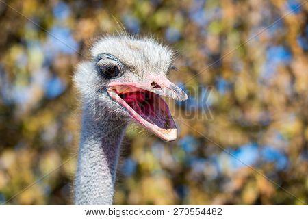 Portrait Of Angry Emu Or Dromaius Novaehollandiae Head Close.