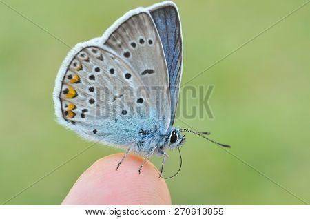 Common Blue Butterfly On Finger. Polyommatus Amandus On Man Finger.