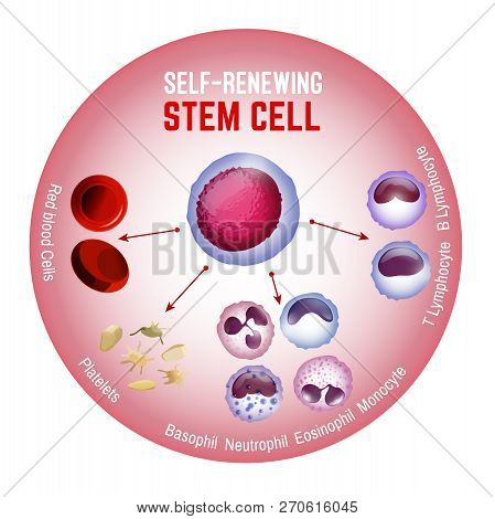 Self-renewing Stem Cell. Blood Cells Types. Editable Vector Illustration Isolated On White Backgroun