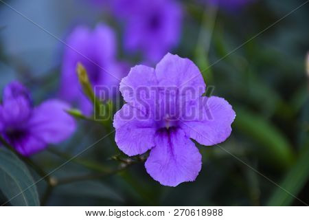 Ruellia Tuberosa Purple Flowers With Green Leaves Background, Natural Background