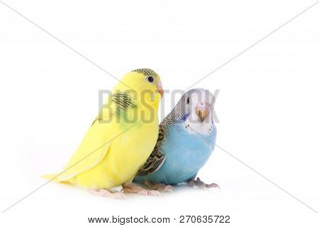 Little Yellow And Blue Budgerigars Isolated On White Background. Isolated Budgerigar