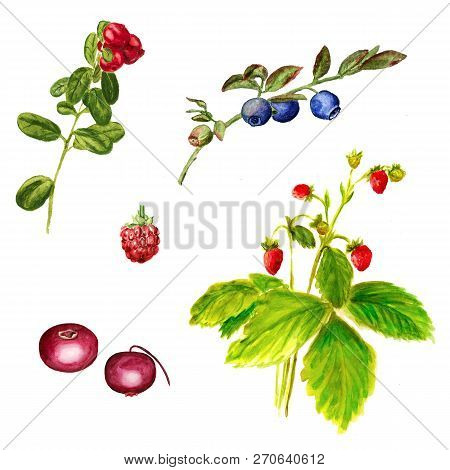 Set Of Watercolor Image Of Wild Forest Berries On White Backgound. Cowberry, Blueberry, Cranberry, R