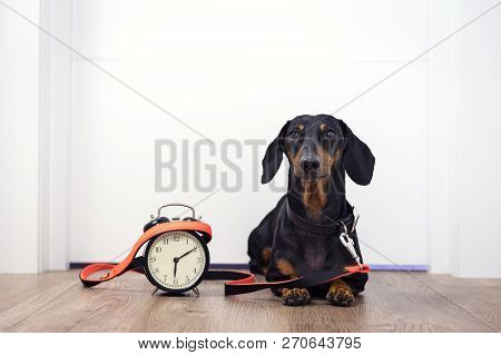 Black And Tan Dog Breed Dachshund Sit At The Door With A Leash And Alarm Clock, Cute Small Muzzle Lo