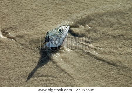 Head Of A Fish On The Beach