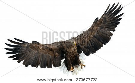 Adult White-tailed Eagle In Flight. Isolated On White Background. Scientific Name: Haliaeetus Albici