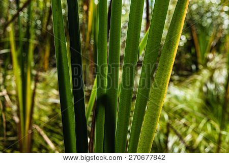 Green Forest Cat Tails Leaves And Stalks Growing In A Dry Swamp