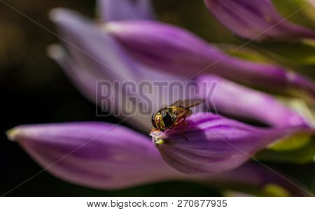 Beautiful Purple Violet Flower With Tiny Bee Perched On Edge Of Petal