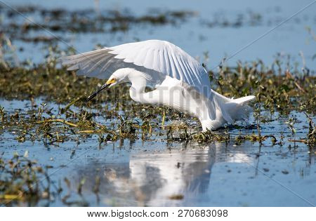 Snowy Egret Hunting For Fish In A Lake.
