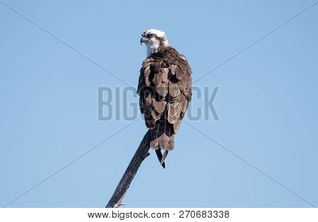 An Osprey Perched On A Tree Branch.