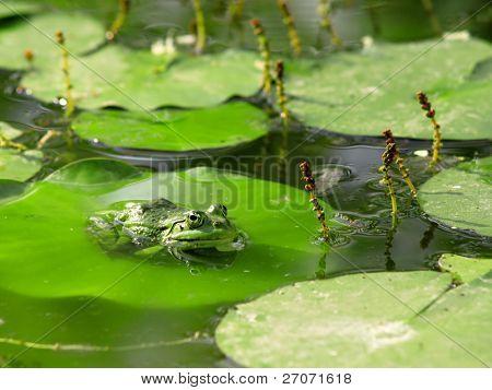 frog and nenuphar