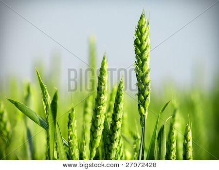 Organic green wheat close up