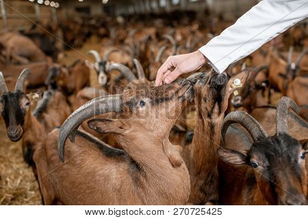 Veterinarian Stroking With Hand Beautiful Goats Of Alpine Breed In The Stable Of A Milk Farm. Close-