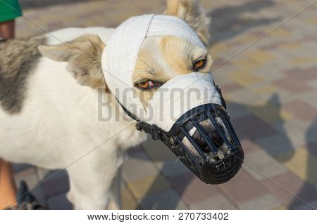 Portrait of mixed-breed dog in muzzle with bandaged snout having under lichen therapy poster