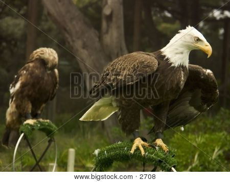Eagle Ready For Takeoff