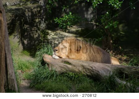 Lying Lion 2