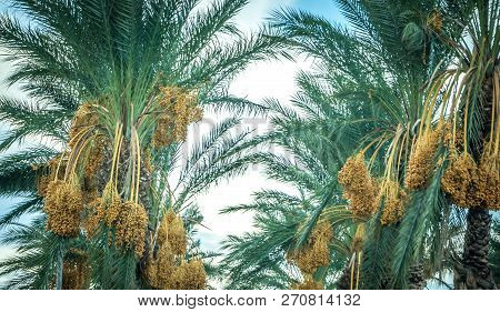 Palm Tree With Fruit On Blue Sky Background