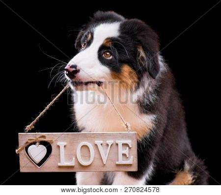 Valentines day - Australian Shepherd purebred puppy, 3 months old holding a wooden plate in mouth, isolated on black background. Little Aussie dog holding signboards with Love sign.