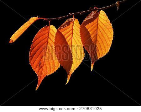 Autumn Leaves Overlapping Backlit With Fly Silhouette Dark Background