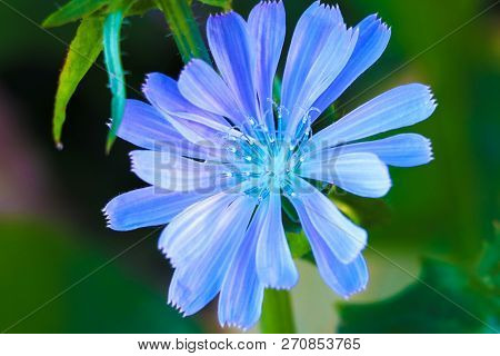 Chicory Flowers On Meadow. Blooming Chicory Flowers On A Green Grass. Meadow With Chicory Flowers. W
