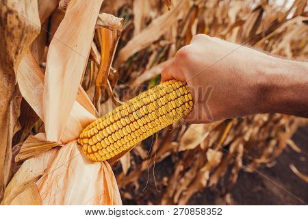 Hand Picking Corn Cobs In Field. Farm Worker Harvesting Ripe Maize Crops By Hands.