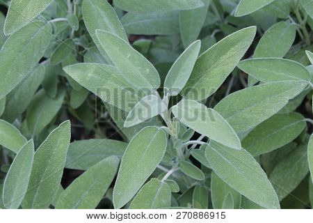 Sage (salvia Officinalis) , A Medicinal Plant, Also Called Medicinal Herb. Sage Is An Aromatic Plant