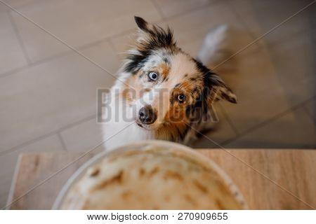 Dog Looking At Food. The Australian Shepherd Is Waiting For Pancakes. Pet Eating