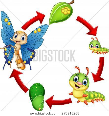 Vector Illustration Of Illustration Of Butterfly Life Cycle