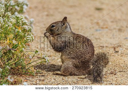 California Ground Squirrel Or Beechey Ground Squirrel, A Common Squirrel Of The Western United State