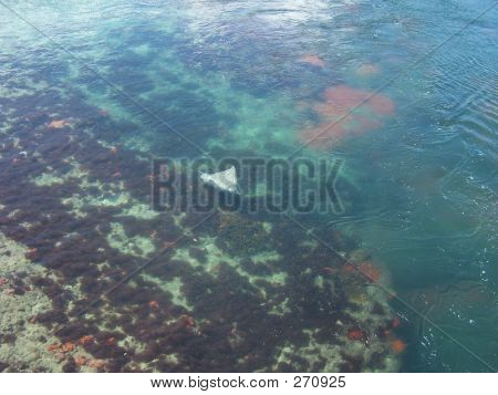 poster of sting ray in water, bermuda