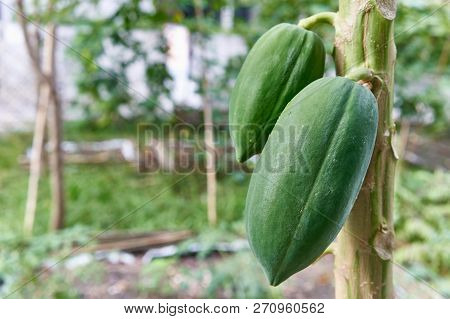 Green Papaya Fruit Have Bokeh Of Garden As Background