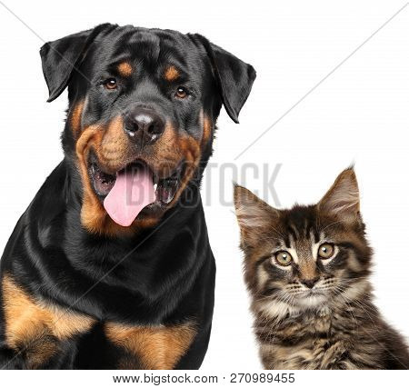 Cat And Dog. Portrait Of Strong Rottweiler And Maine-coon Kitten On White Background.