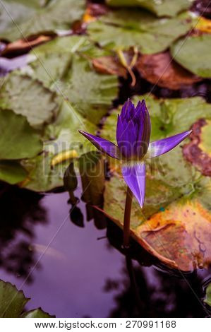 Lonely Lotus Flower, Purple Water Lily In A Pond. Beautiful View For Postcard, Calendar, Poster - Bl