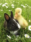 Rabbit bunny and duckling best friends poster