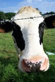 A black and white dairy cow. Selective Dof with focus on the head. Funny cow. poster