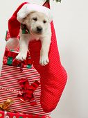Christmas present - Cute labrador puppy in a Christmas sock poster