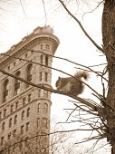 a squirrel sits on a branch in new york cities madison square. the famous flat iron building gives away the location. poster