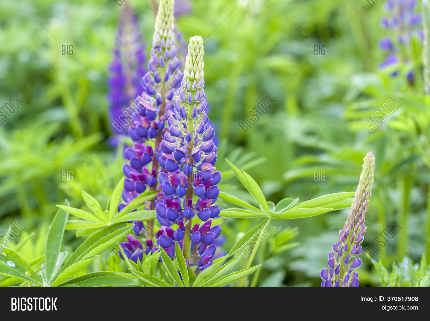 Lupin S Flower Image Photo Free Trial Bigstock