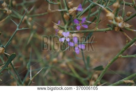 Zilla Spinosa Bloom, Selective Focus On Flowers, Purposely Blurred