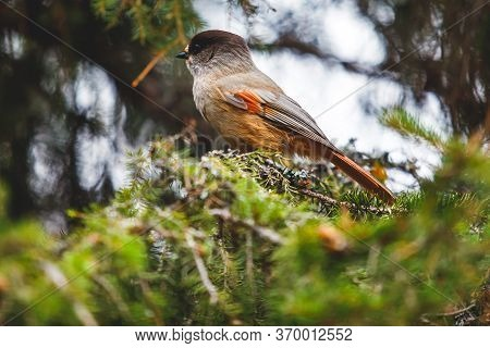 Beautiful Close Up View Of Siberian Jay Bird Sitting On A Birch In Finland, Oulanka National Park, L