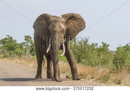 Massive African Elephant Walking With A Swagger Down The Road In Kruger, South Africa