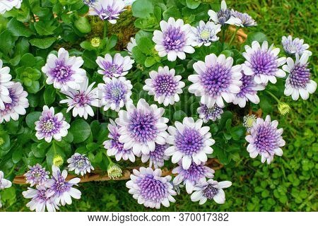 Osteospermum Flowers  ( African Daisy) In The Pot, Summer Teracce Or Window Decoration.