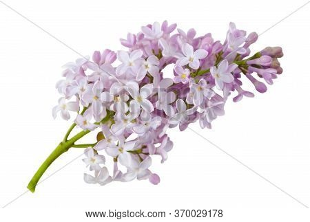 Sprig Of Blooming Lilac Isolated On A White Background Without A Shadow. Item For Greeting Card, Pac