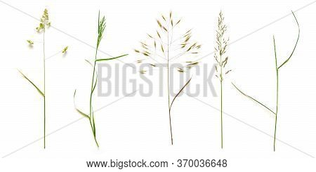 Row From Beautiful Wild Grasses Like Orchard Grass, Barren Brome And Ryegrass Isolated On A White Ba